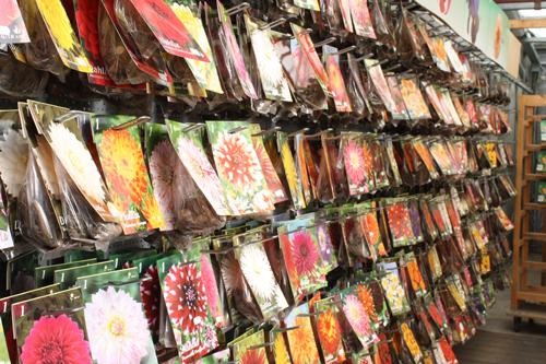 Dahlia Flower Bulbs Dahlia Tubers Dahlia Bulbs