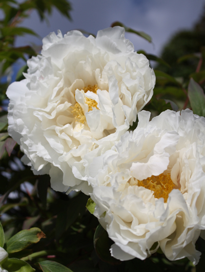 Peonies Of Paris Flirty Fleurs The Florist Blog