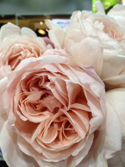 Caramel antique garden roses garden ftempo for Maple garden apartments weymouth