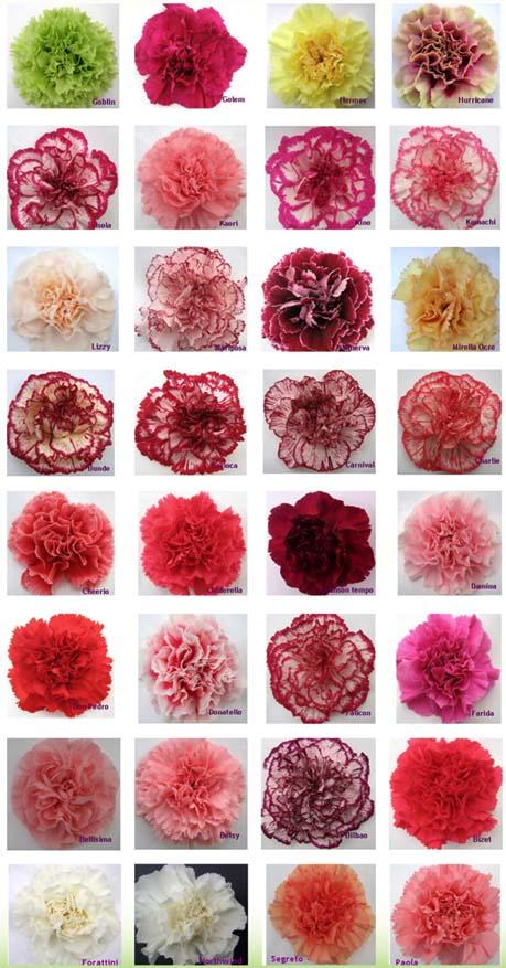 carnation color guide  flirty fleurs the florist blog, Natural flower