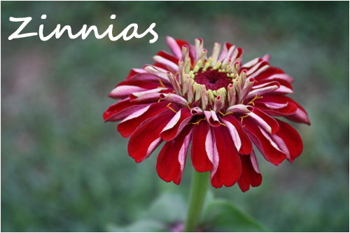 red zinnia flower, florist blog