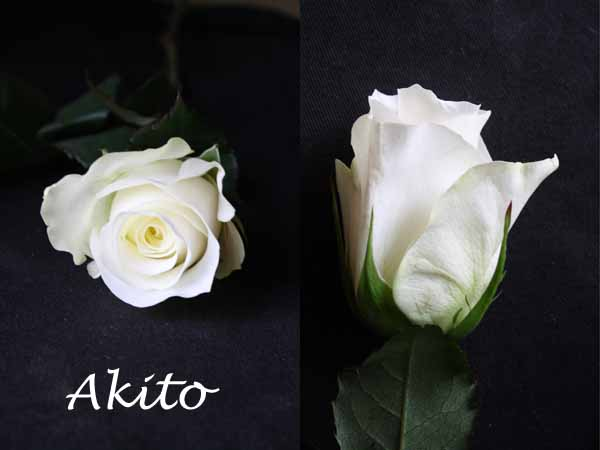 Profile view of the White Akito Rose