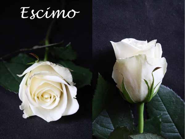 White Escimo rose
