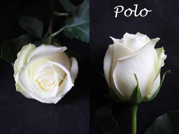 White Polo roses