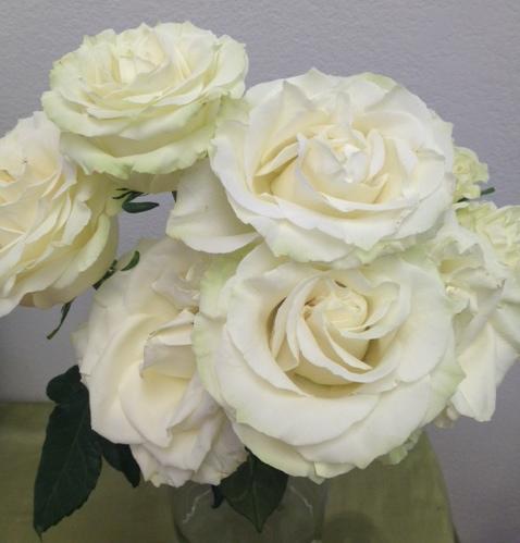 Mondial cream rose