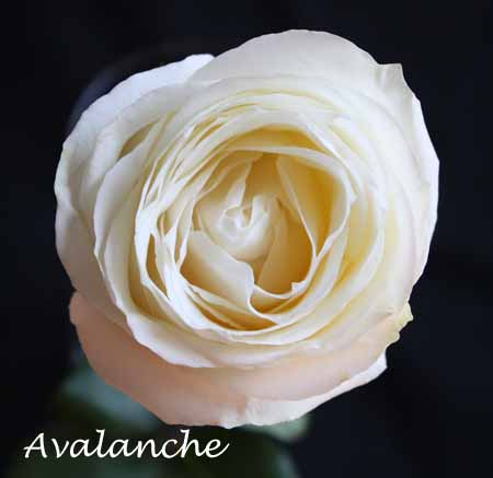 Avalanche White Rose
