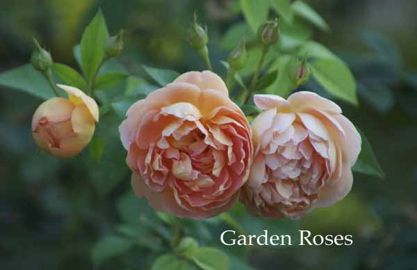 contemporary peach garden rose roses rose designs peach garden rose