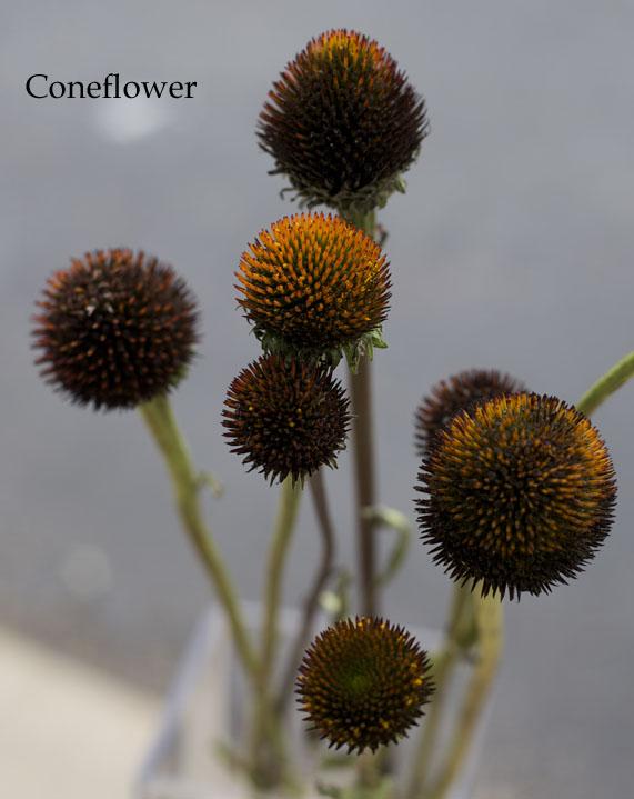 rust color coneflower for flower arrangements