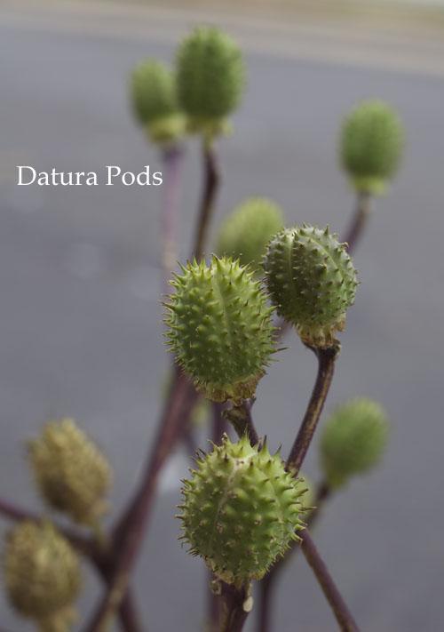 Green Datura Pods