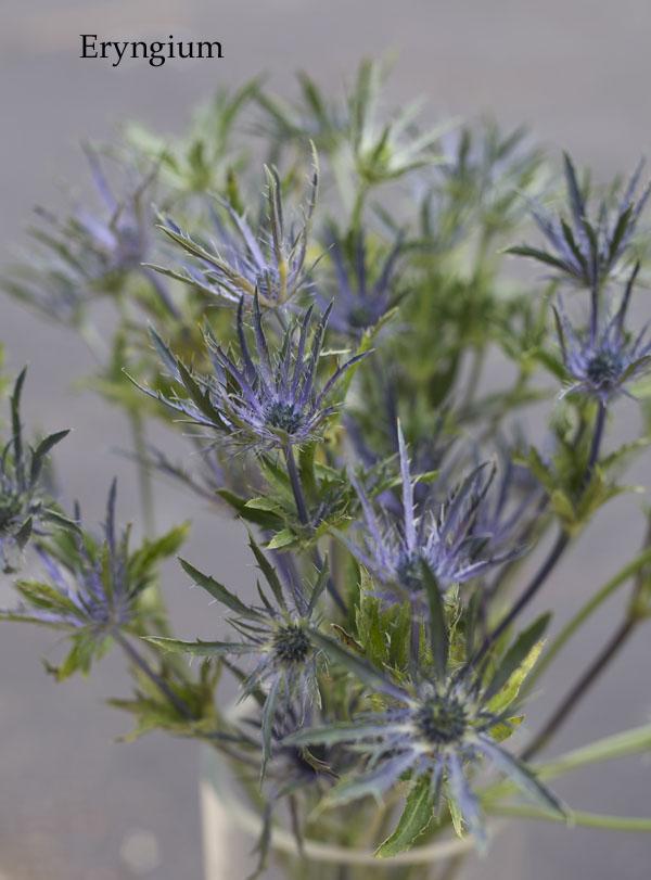 Blue Thistles Eryngium