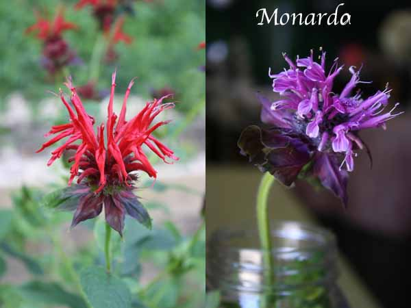 red and purple monarda flower