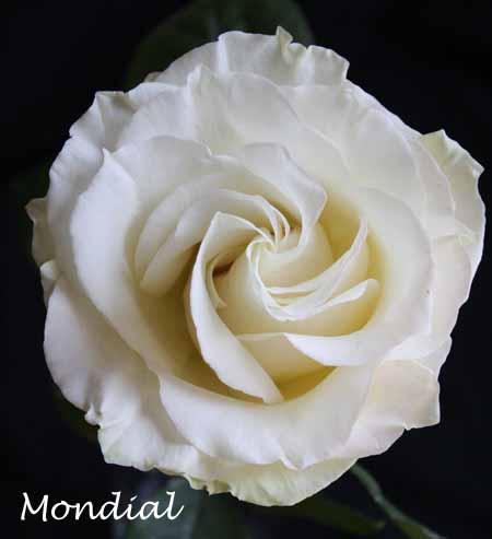 White Mondial Rose