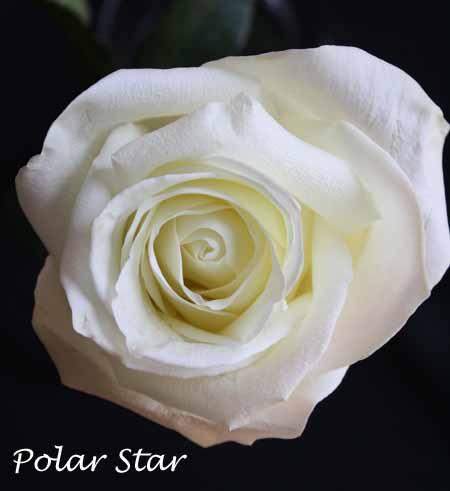 White Polar Star Rose