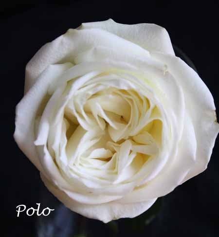 f1fc04a85696 Varieties of White Roses