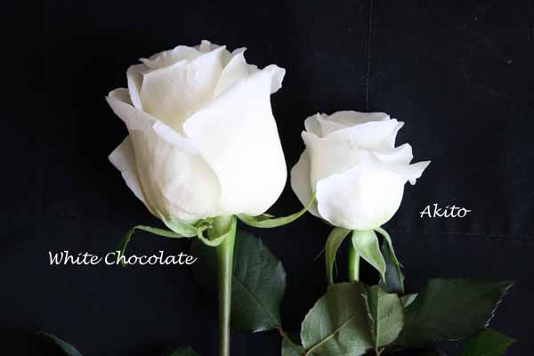 White Chocolate versus Akito white rose