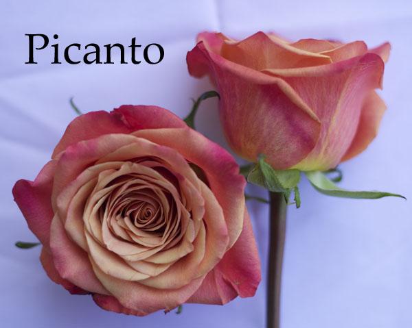 Picanto Orange Rose