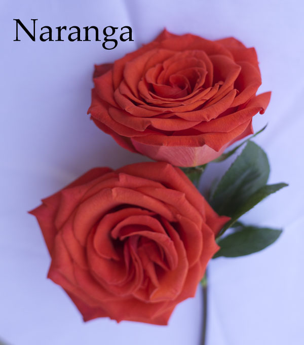 Naranga Orange Rose