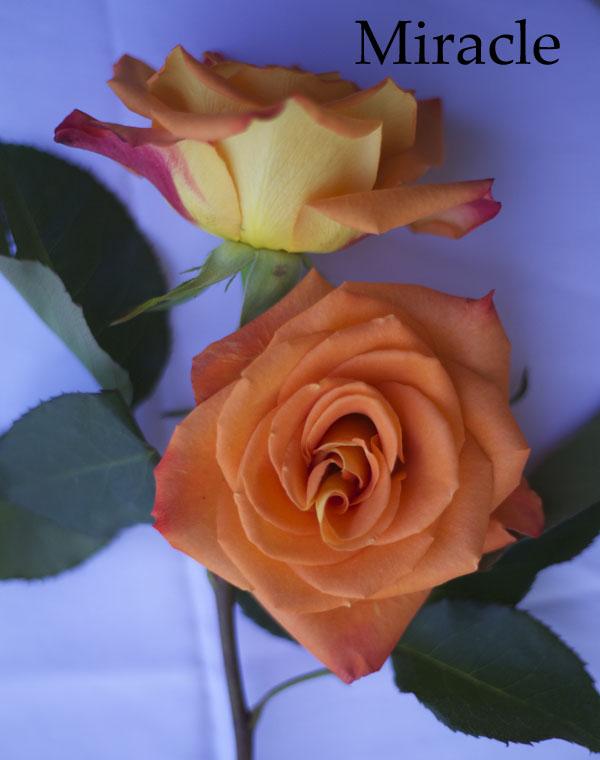 Miracle Orange Roses