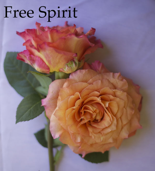 Free Spirit Orange Rose