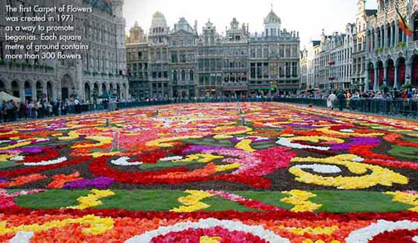 brussels begonias flower carpet