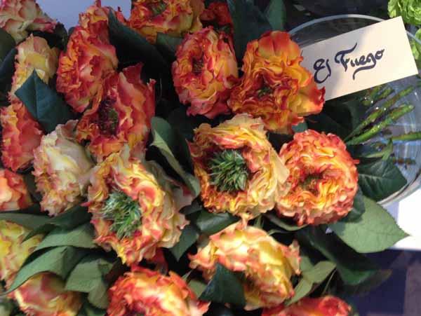 El Fuego Garden Rose