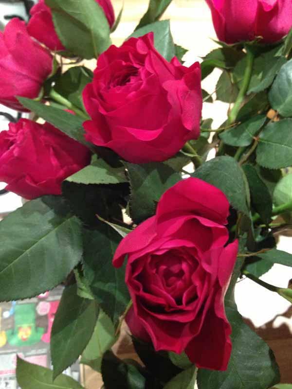 David Austin hot pink garden roses