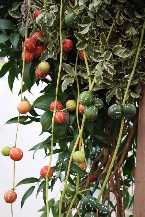 Diplocyclos watermelon vine