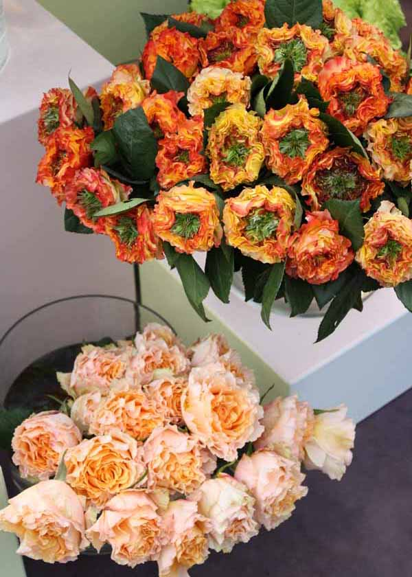 El Fuego and Peach Campanella Roses