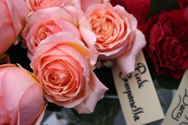 Pink Campanella