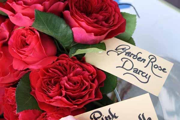 Darcy Garden Rose