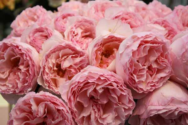 pink garden roses - Garden Rose