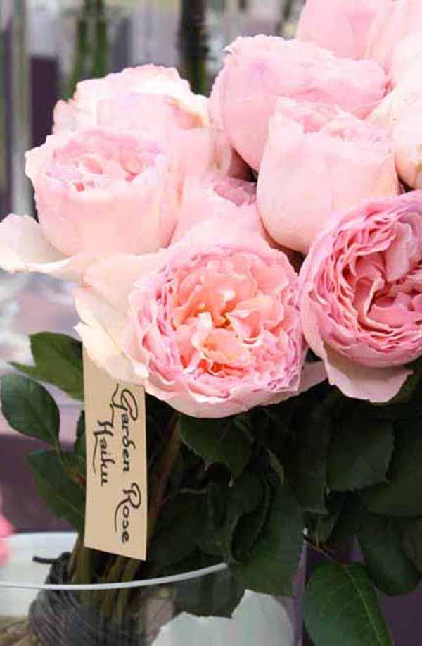 Haiku pink garden rose