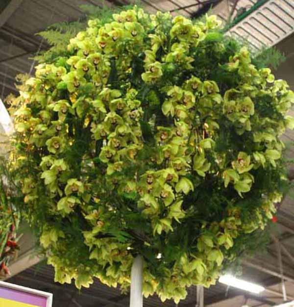 green cymbidiums and plumosa