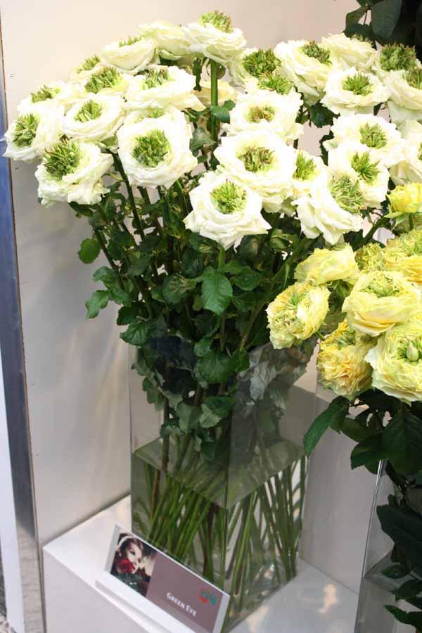 Green Eye White Rose
