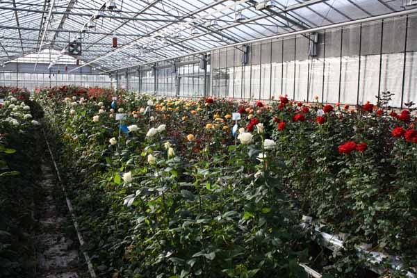 Rose breeder Holland