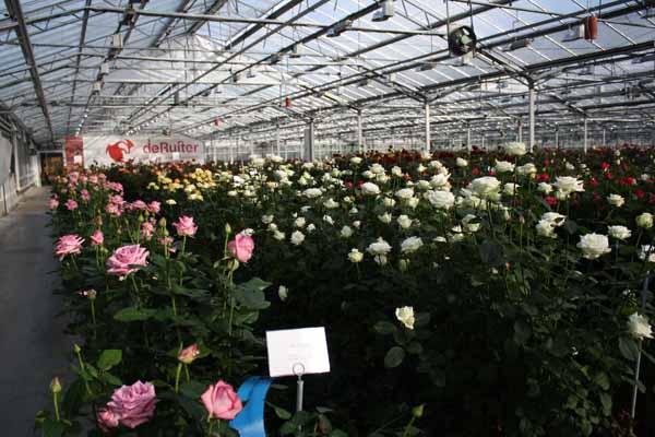 rose breeder in holland