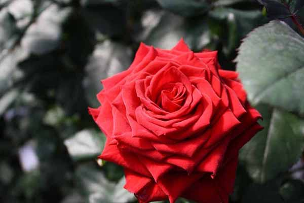 Open Red Rose