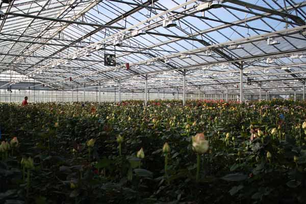 rose grower in holland