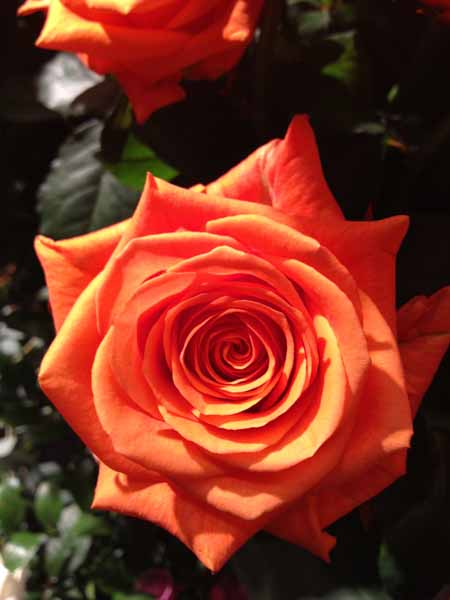 orange Rose Enya by de Ruiter