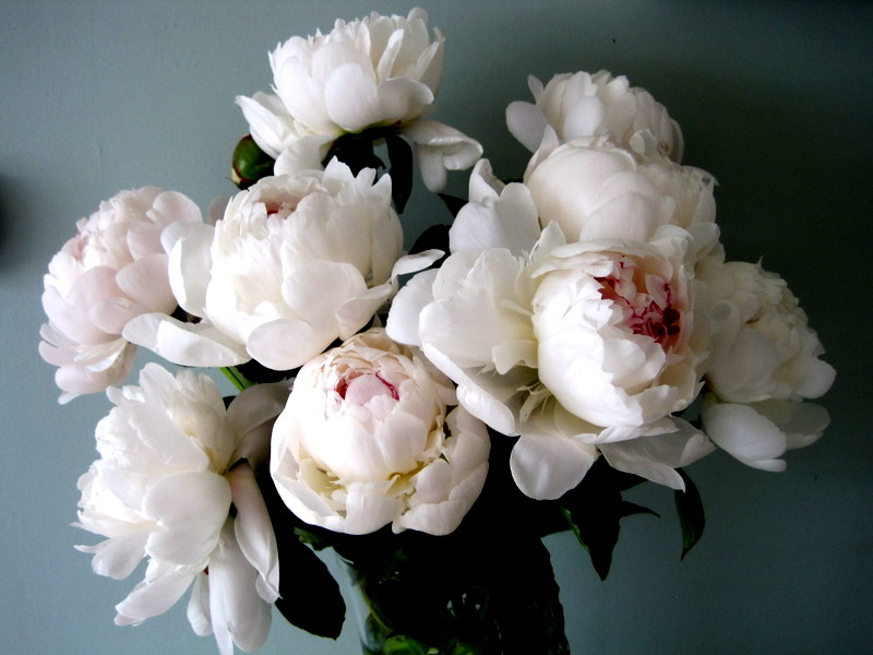 Peonies The Queen Of Flowers